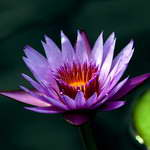 Buy Water Lilly