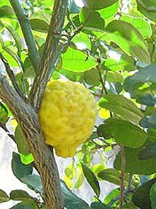 Buy Citrus Hystrix
