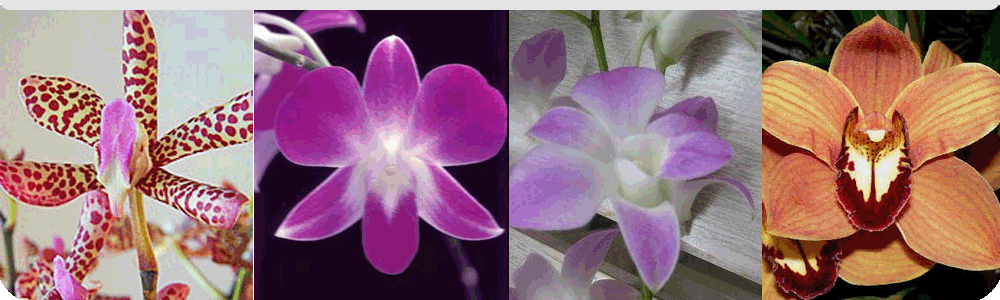 Buy Thai orchids premium