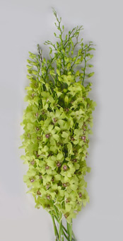 Buy Dendrobium Burana Green