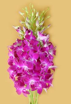Buy Dendrobium Juri Red