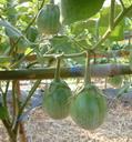 Buy Brinjal Seeds