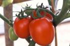 Buy Hybrid Tomato Beta