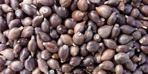 Buy Pearl barley with black husk
