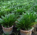 Buy Palm and Cycad