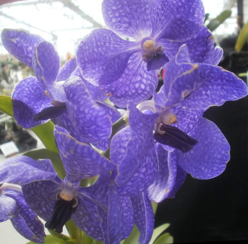Buy Vanda Light Blue