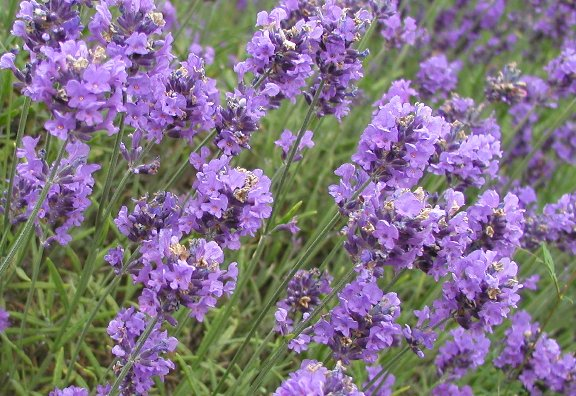 Buy Iris flowers and lavender body scrub