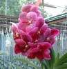 Buy Thailand Orchid Plants