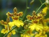 Buy Yellow Oncidium
