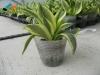 Buy Sansevieria trifasciata