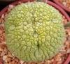 Buy Pseudolithos spp plant
