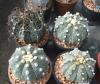Buy Astrophytum mixed