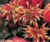 Buy Amaranthus Seeds