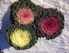 Buy Flower Seed Cabbage Ornamental