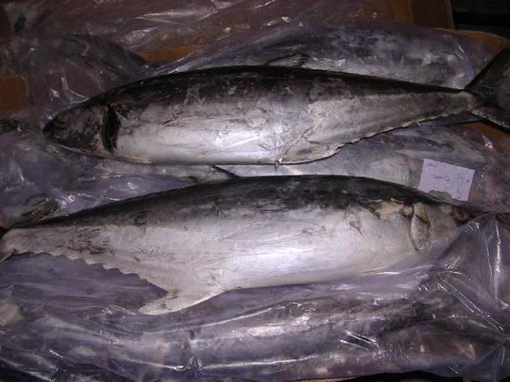 Buy Frozen Fish Tuna