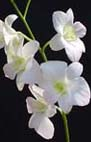 Buy Dendrobium Den. Alika