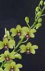 Buy Dendrobium Den. Buranajade