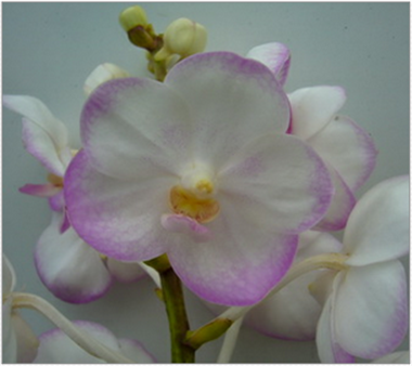 Buy Orchid Sweet White
