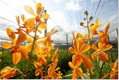 Buy Orchid Mokara Bang Khun Tien