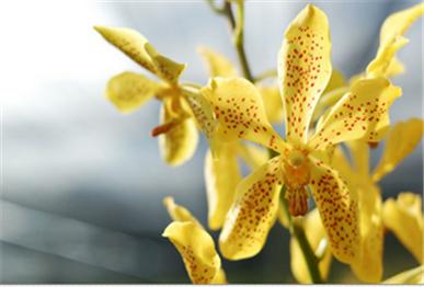 Buy Orchid Mokara Yellow