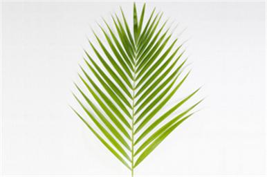 Buy Yellow Palm