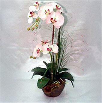 Buy Orchid WEB-25