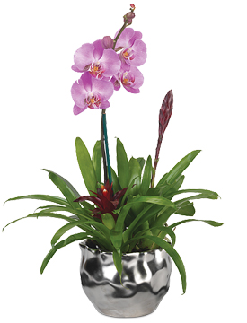 Buy Orchid plants Thai
