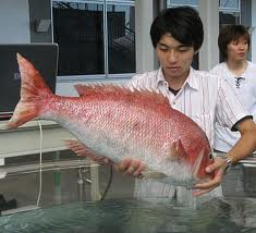 Buy Frozen Fish Red seabream