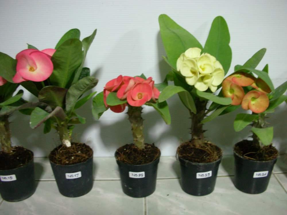 Buy Euphorbia milii