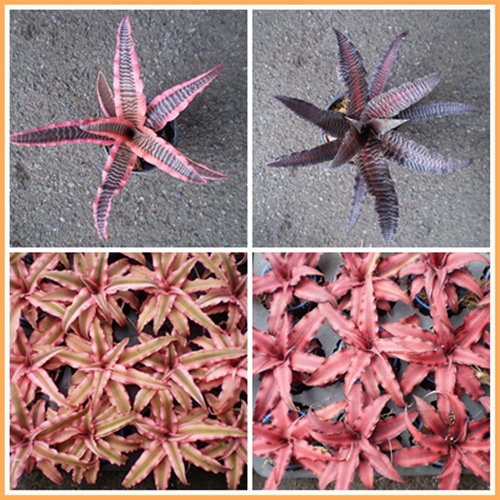 Buy Bromeliad : Cryptanthus elaine and starlite