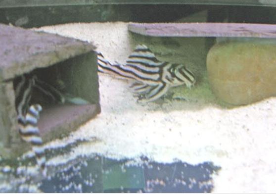 Buy Live catfish