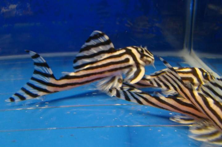 Buy Available quality L046 zebra Hypancistrus