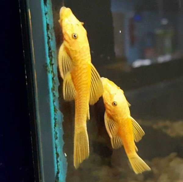 Buy Albino Super red bristlenose Pleco And many others For Sale