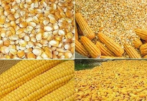 Buy Corn gluten feed, Protein-Rich Feed Corn Gluten Meal maize gluten feed