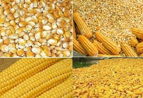 Buy Corn gluten feed, Protein-Rich Feed Corn Gluten Meal maize gluten feed