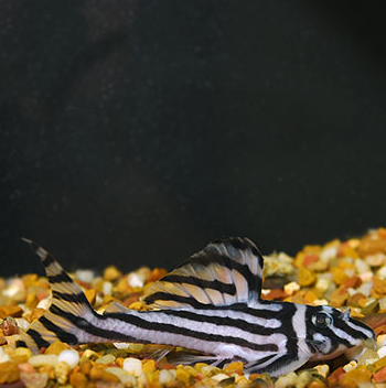 Zebra Pleco and many other tropical Fishes