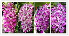Thailand Orchid