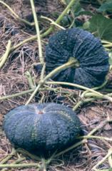 Hybrid Pumpkin Assanee