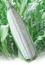 Hybrid Glutinous Corn Sweet white