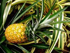 Pineapple Nanglae