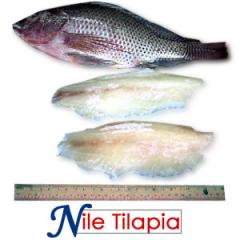 Nile Tilapia (Tilapia nilotica)