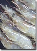 Raw white shrimp shell on