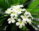 Plumeria seed