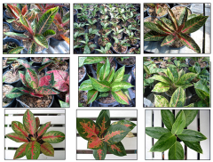Aglaonema Mixed Varieties