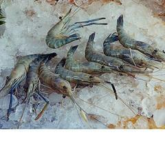 Giant River Prawn (Shrimp)