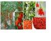 Goji Berries Herbal Extract