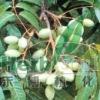 Olive leaf P.E. hydroxytyrosol2.5%, 10%, 20%