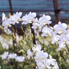 BJP: Dendrobium Jumbo White (PV)