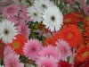 Fresh Cut Flowers Gerbera