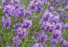 Iris flowers and lavender body scrub